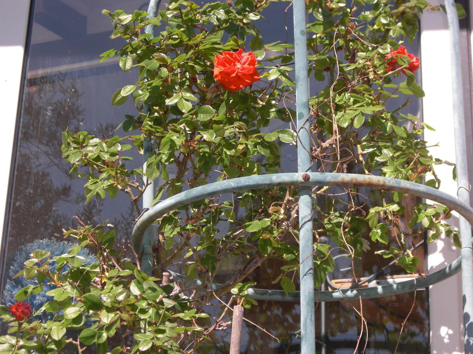 Premières roses
