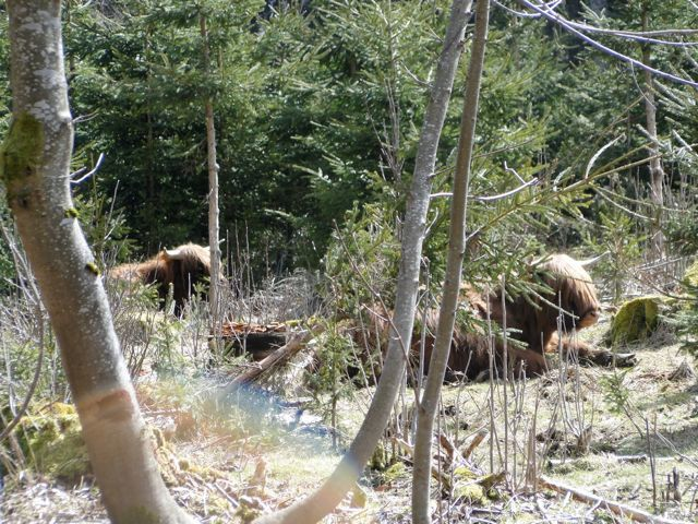 Les Highland Cattle se reposent au soleil.