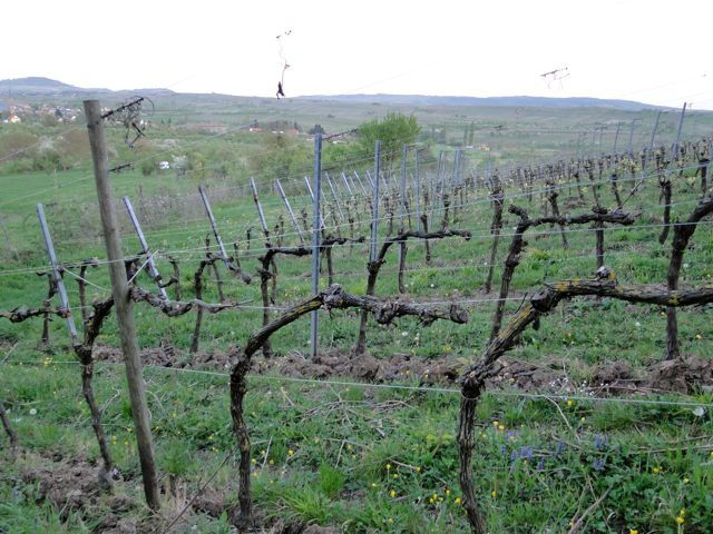 Taille particulière dans le vignoble de Westhoffen.