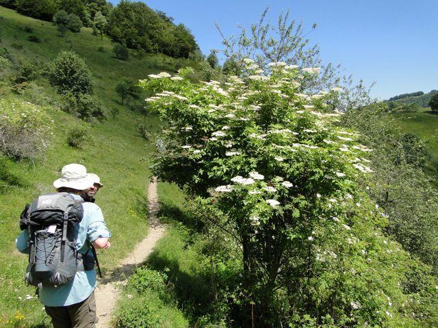 Le sureau est seulement en fleur a cette altitude alors qu'en plaine le sirop de fleurs de sureau et fait depuis 3 semaines.
