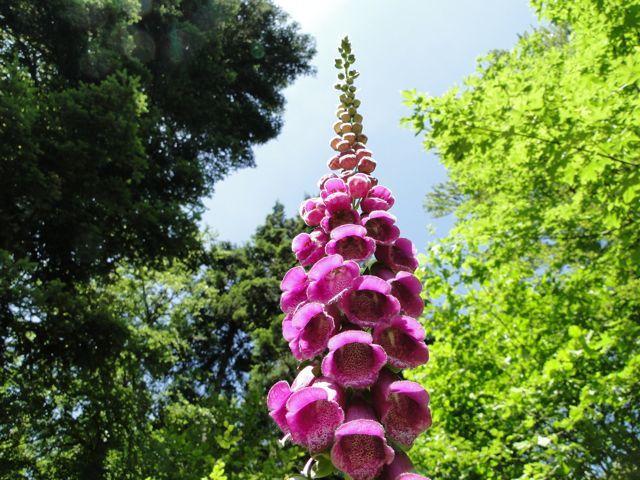 La digitale pourpre est une plante médicinale, célèbre pour ses propriétés tonicardiaques. Elle est typique des lisières et clairières forestières.