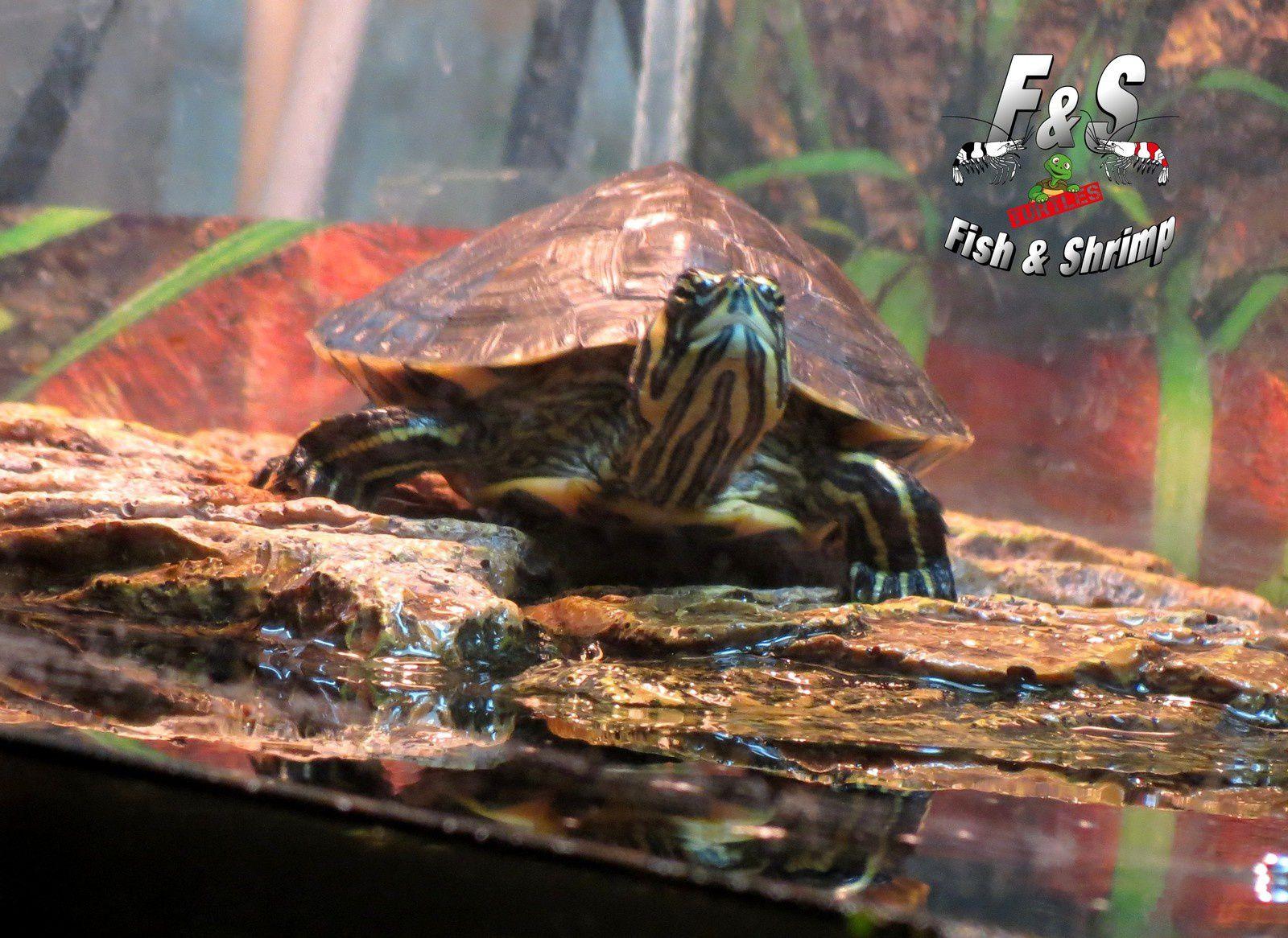 Les tortues pendent la crémaillère...