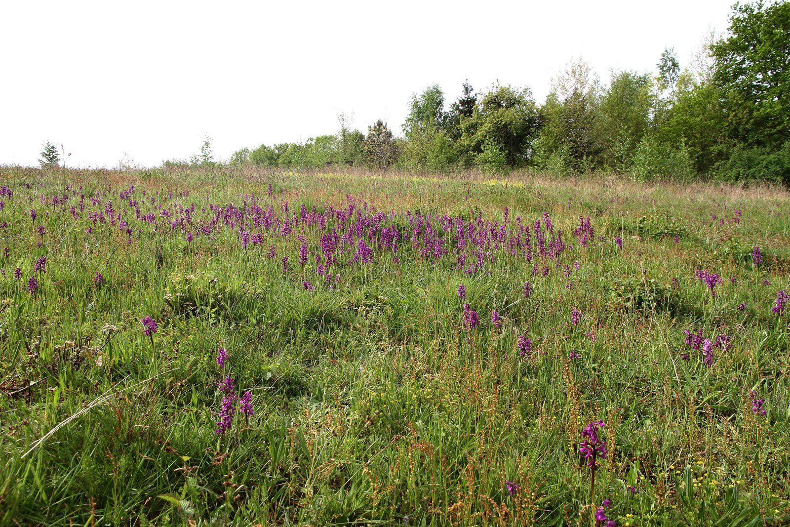 """Photos d'Orchidées """"sauvages"""" prisent en Berry dans le canton de Chatillon sur Indre par Jacques Malesset."""