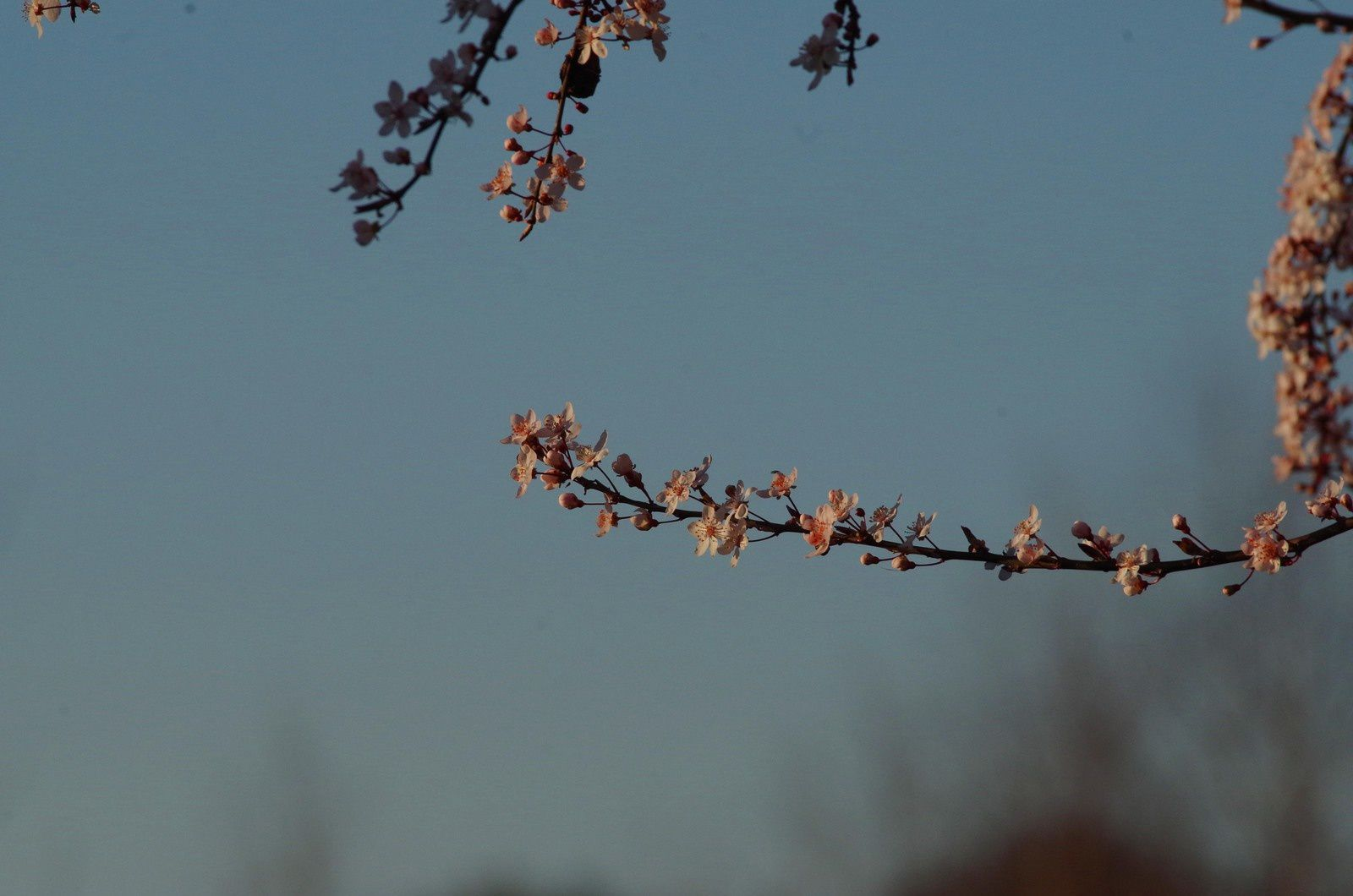 Arbres en fleurs.Prunus pissardi.Photos de JP.