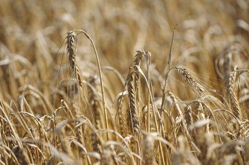 Agriculture, il faudrait recréer les espèces sauvages 'par modifications génétiques'. N'y-a-t'il pas quelque chose qui cloche ?