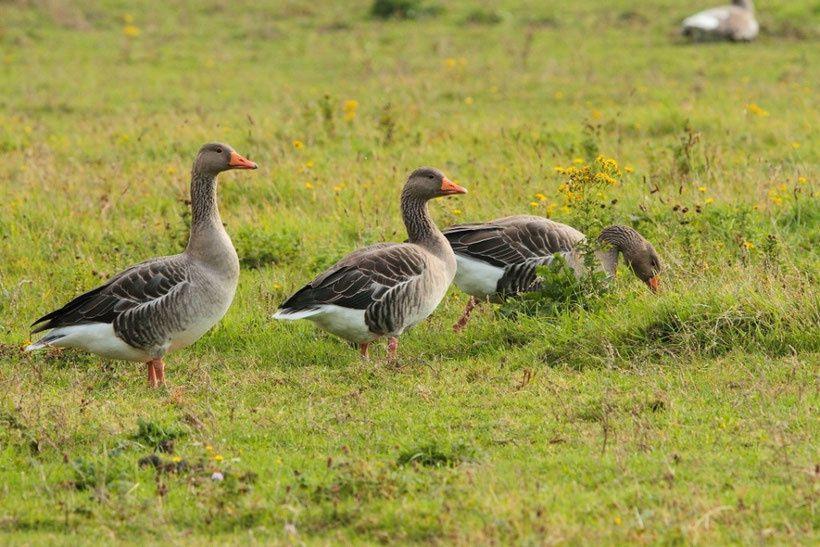 Non-respect de la Directive oiseaux : le Ministère de l'Environnement sanctionné pour la 8e fois par le Conseil d'État français !