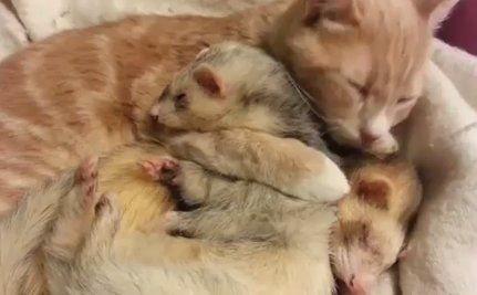 Ned the Cat Gives Two Cuddly Ferrets a Bath (Care 2)