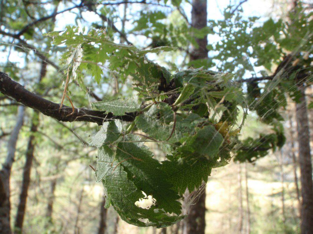 Même ce frêne se fait attaquer par la tordeuse.