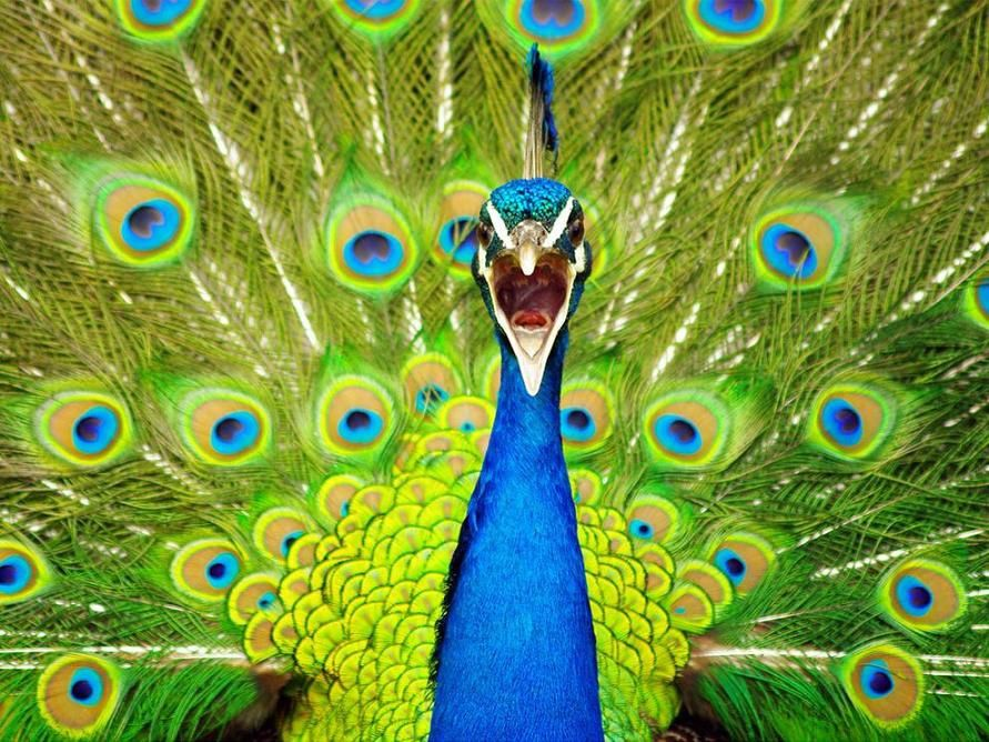 *Photo Peacock Via National Geographie.