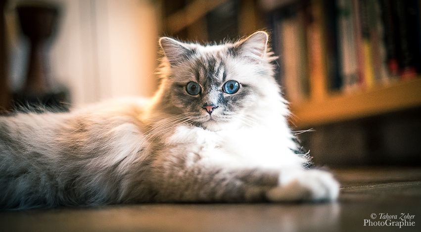 © T.Zoher PhotoGraphie - Izy le chat -