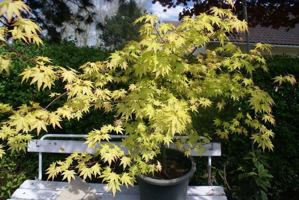 Ca bourgeonne dans le jardin le blog de rosacorleone - Le jardin d erables ...