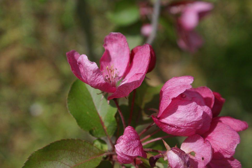 Fleurs de pommier, voir un petit poème ci-dessous
