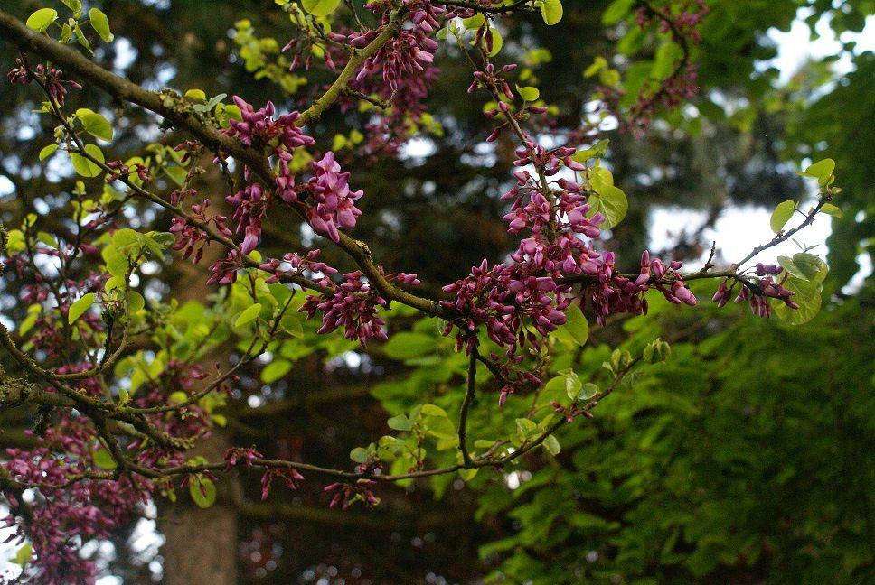 Arbre de judée, fleurs à peine écloses