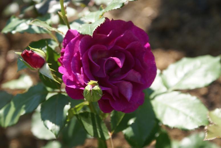 Violette parfumée, une rose moderne qui sent bon et s'habille de pétales déclinant les tons mauve et violet. Pied un peu fragile par contre.