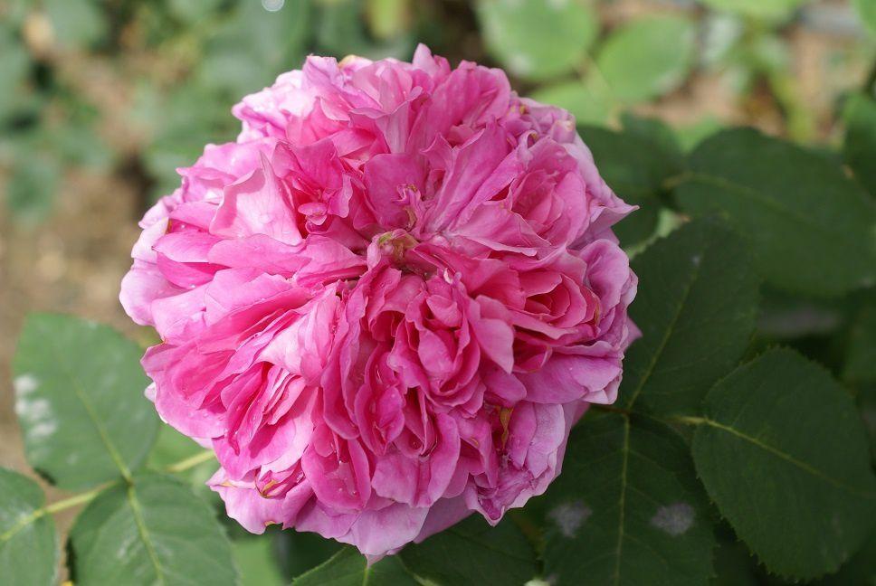 Yolande d'Aragon (hybride remontant de vibert): elle est merveilleuse cette Yolande, sa forme est superbe ainsi que son  parfum. Le seul HIC, c'est que c'est un rosier très sensible à l'oïdium