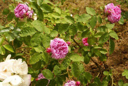 Salet (rosa centifolia muscosa) une merveille : florifère, sent très bon, une belle mousse odorante. Il m'a fait aimer les mousseux.