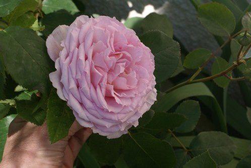 James Galway (une anglaise d'austin) : c'est une rose en coupe plate et aux pétales très découpés comme des fronces. Elle sent bon, mais le pédoncule est fragile.