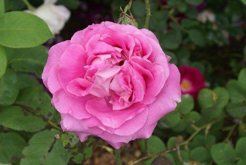 Paul Neyron (hybride remontant) : si vous chercheza une rose-pivoine à la couleur éclatante, c'est elle qu'il vous faut.
