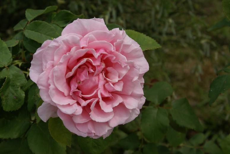 Frédéric Mistral (meilland) : c'est le contraire de Véronèse que j'ai acheté en même temps et qui se trouve juste à coté de lui : il pousse trop, 2mètres au moins et fleurit généreusement de belles roses couleur chair, toujours bien formées et qui sentent bon.