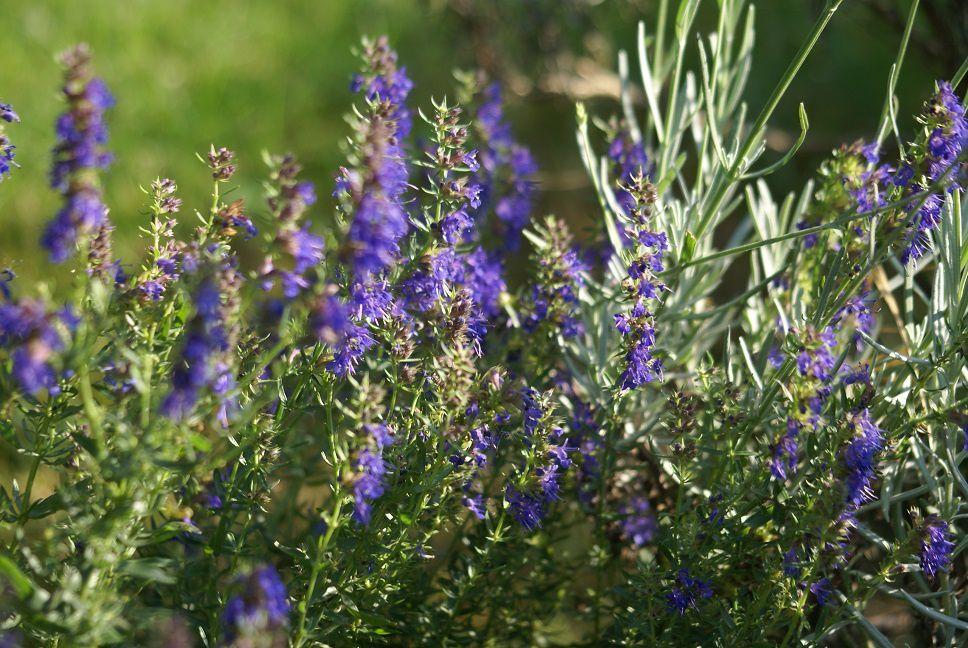 De jolies fleurs d'hysope, délice des abeilles !! Où elles sont les ruches ?