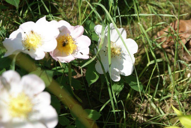 Rosa macrantha waitziana, ma nouvelle petite merveille