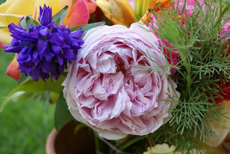 un rosier chouchou, Spirit of freedom, une rose anglaise également