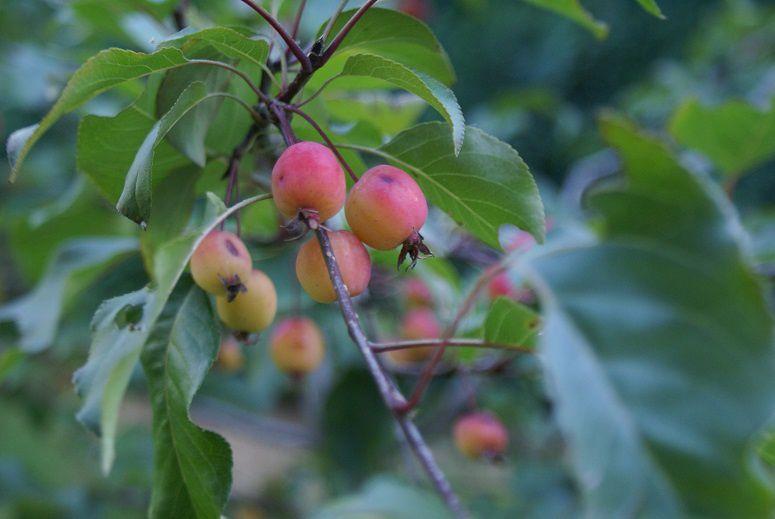 Pommes d'amour