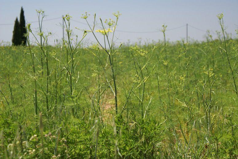 champ de fenouil officinal (pour le pastaga)