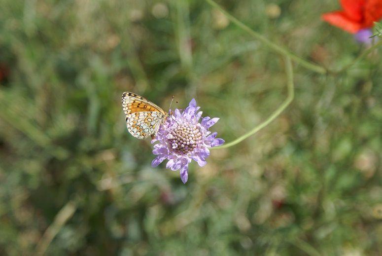 scabieuses et coquelicots (et un papillon)
