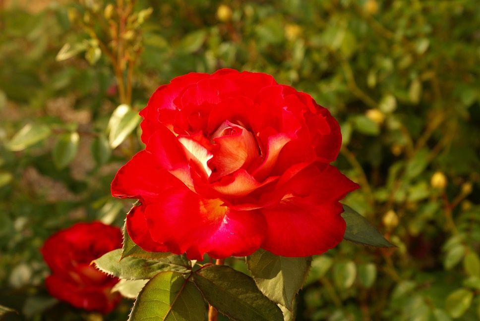Rosiers hybrides divers le blog de rosacorleone - Deplacer un rosier ...