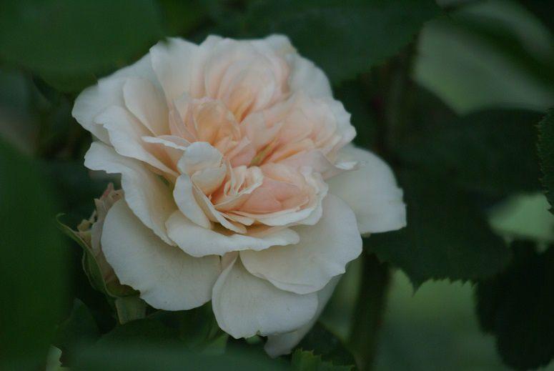 Une rose, un jour : Pégasus
