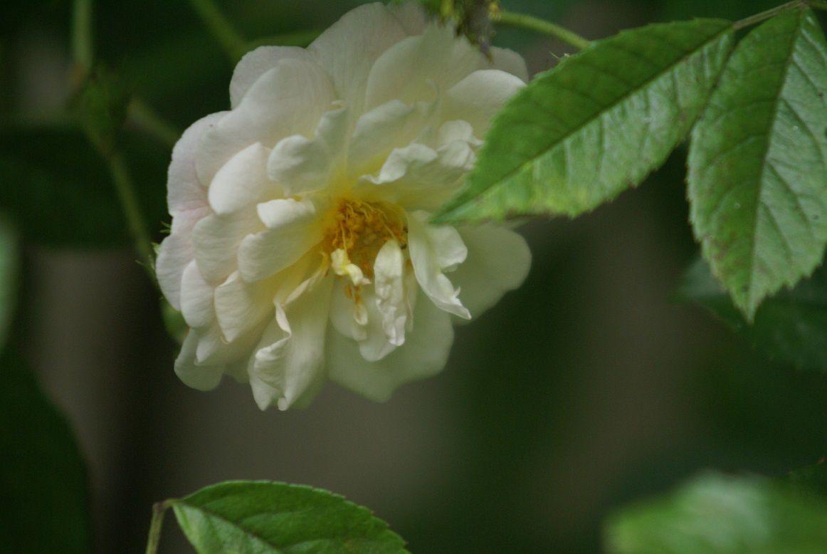 Ghislaine de Féligonde, bouton orangé, fleur saumon fane blanc