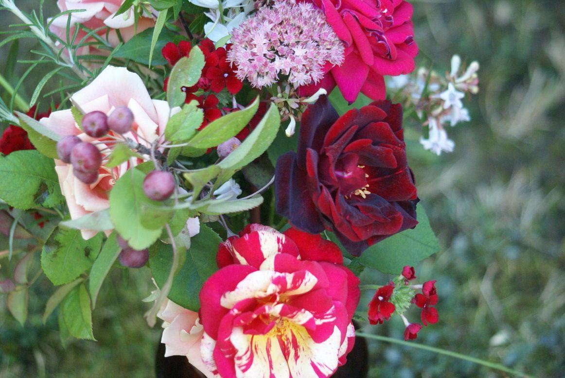 rosiers brocéliande et papa meilland des hybrides modernes.