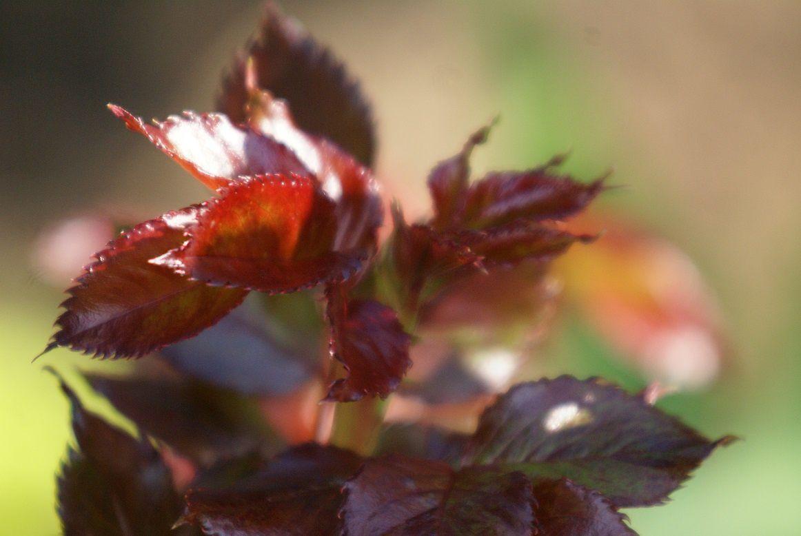 feuillage de rosier