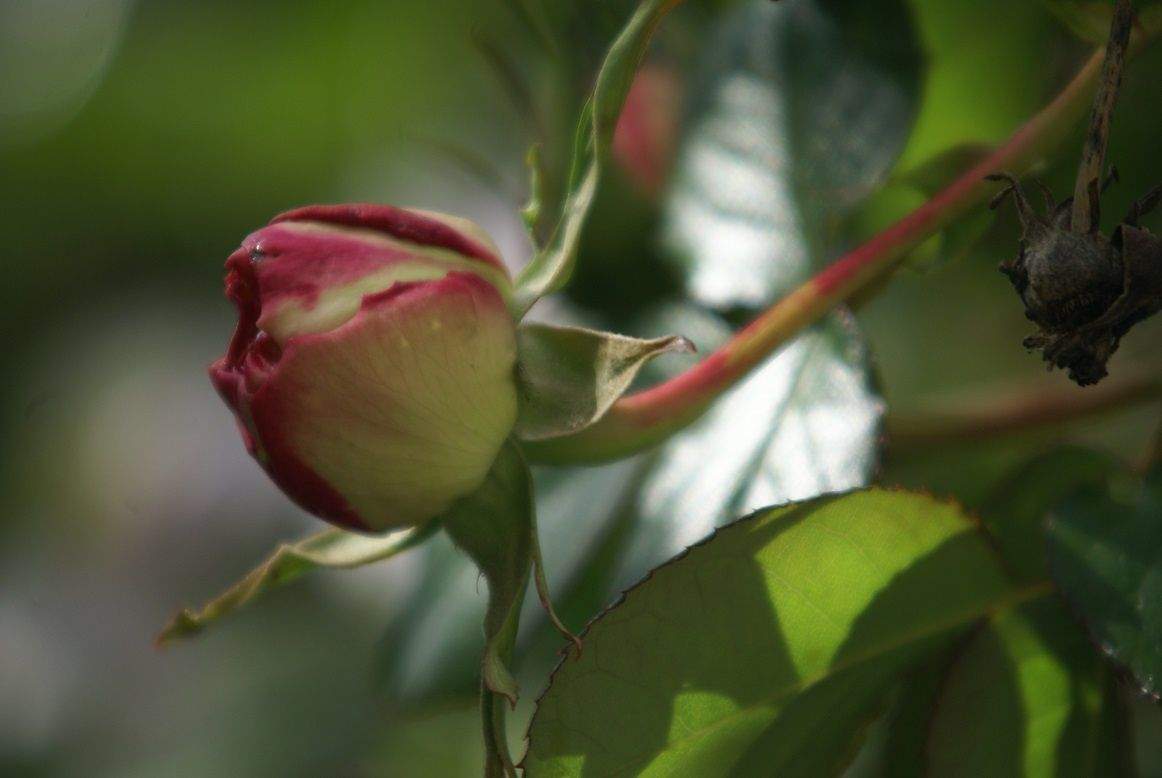 Pierre de Ronsard sans surprise rosier grimpant