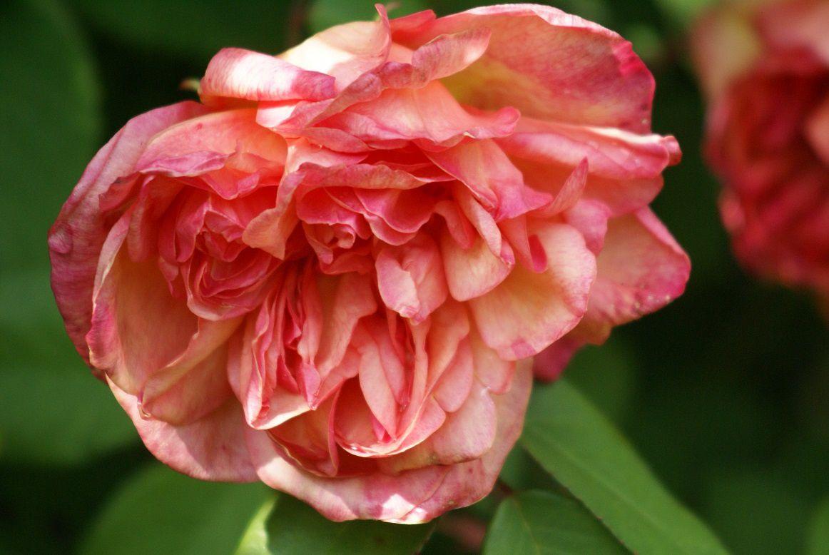 rose Clémentina Carbonieri