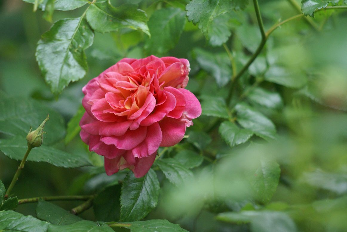rose Christopher Marlowe, rose anglaise