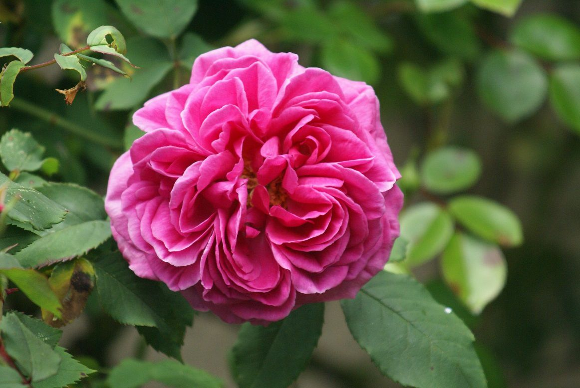 rose mme Isaac Pereire