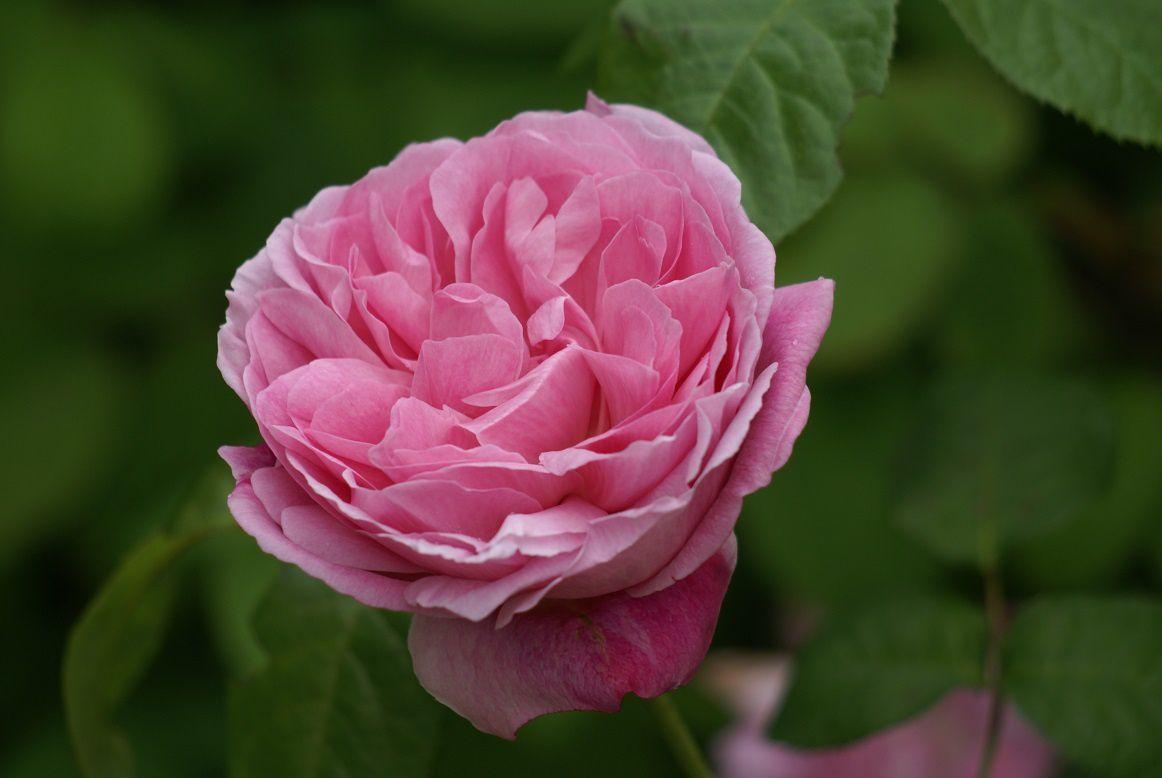 rose Mary Rose, rose anglaise