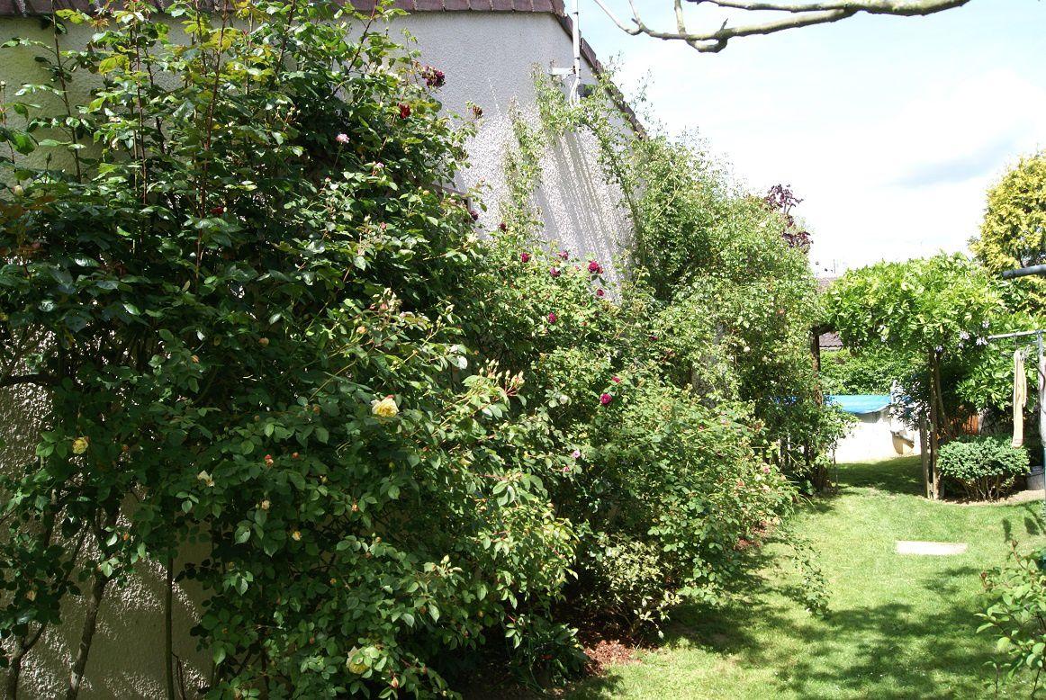 rosiers derrière la maison, grimpants ou non (rose/rouge/jaune/saumon/pourpre) à venir