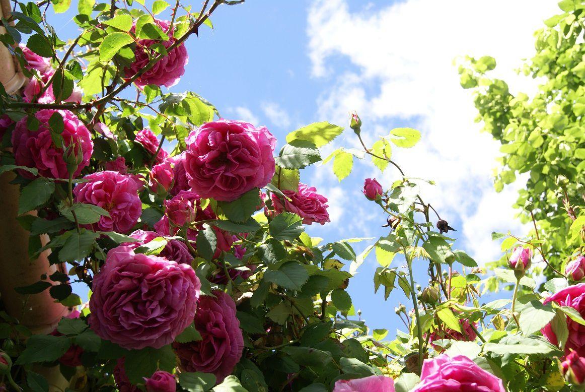 Ciel de rose