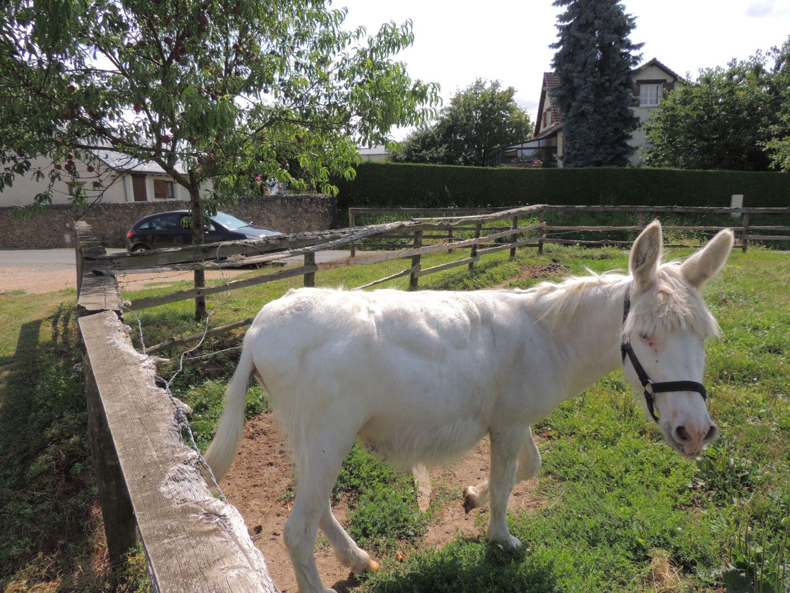 Ane obèse. Vue générale. Copyright Techniques d'élevage. Nutritionniste équin. Nantes