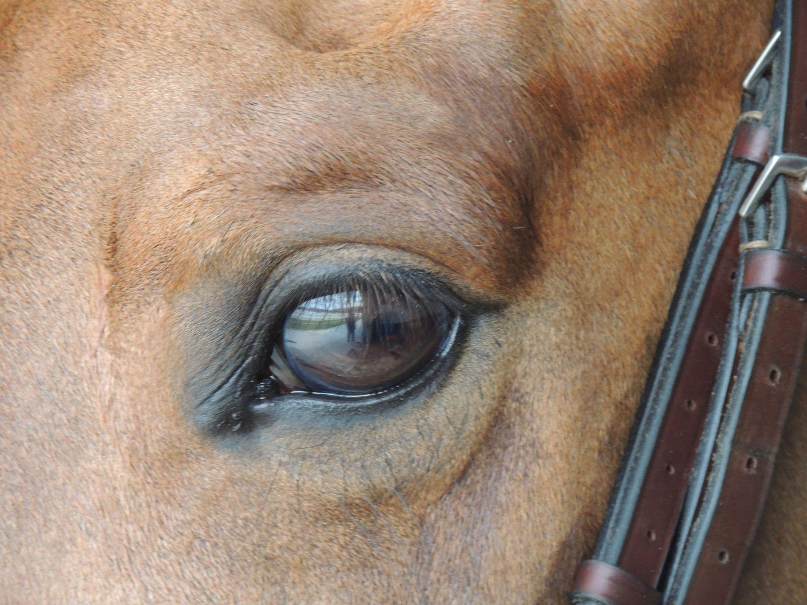 Oeil de cheval. Copyright Techniques d'élevage. Nantes Catherine Kaeffer