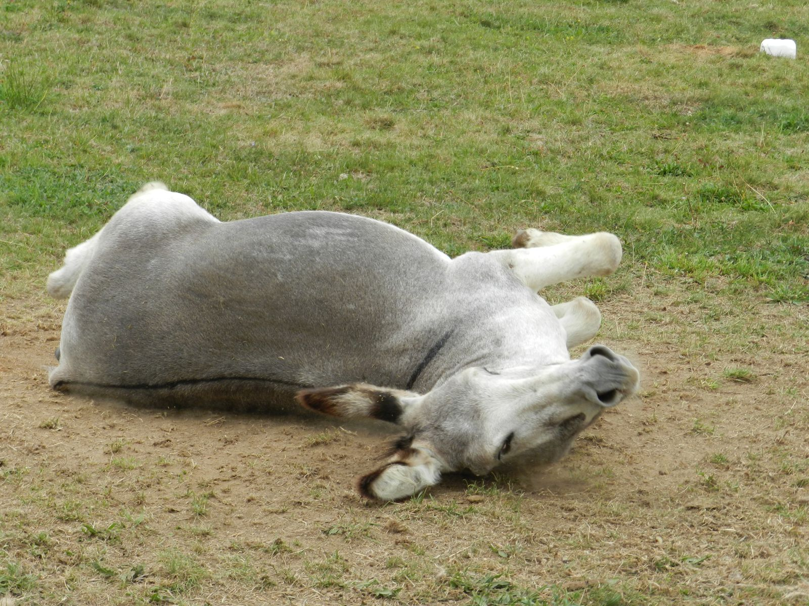 Âne qui se roule dans la terre - photo soumise à droits d'auteur - Techniques d'élevage 2013