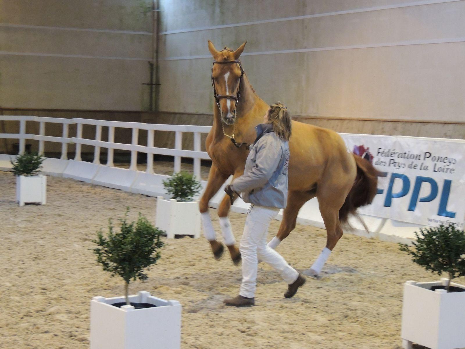 Poney en présentation d'étalon. Image soumise à droits d'auteurs. Techniques d'élevage. Nantes