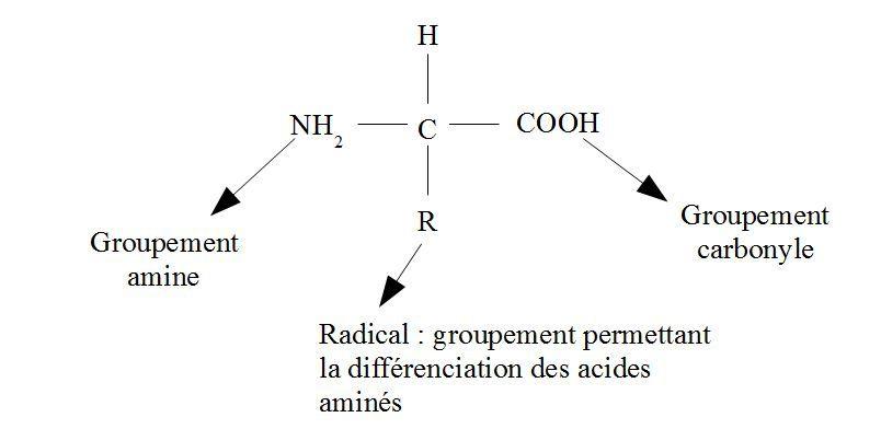 Structure chimique de la biotine.