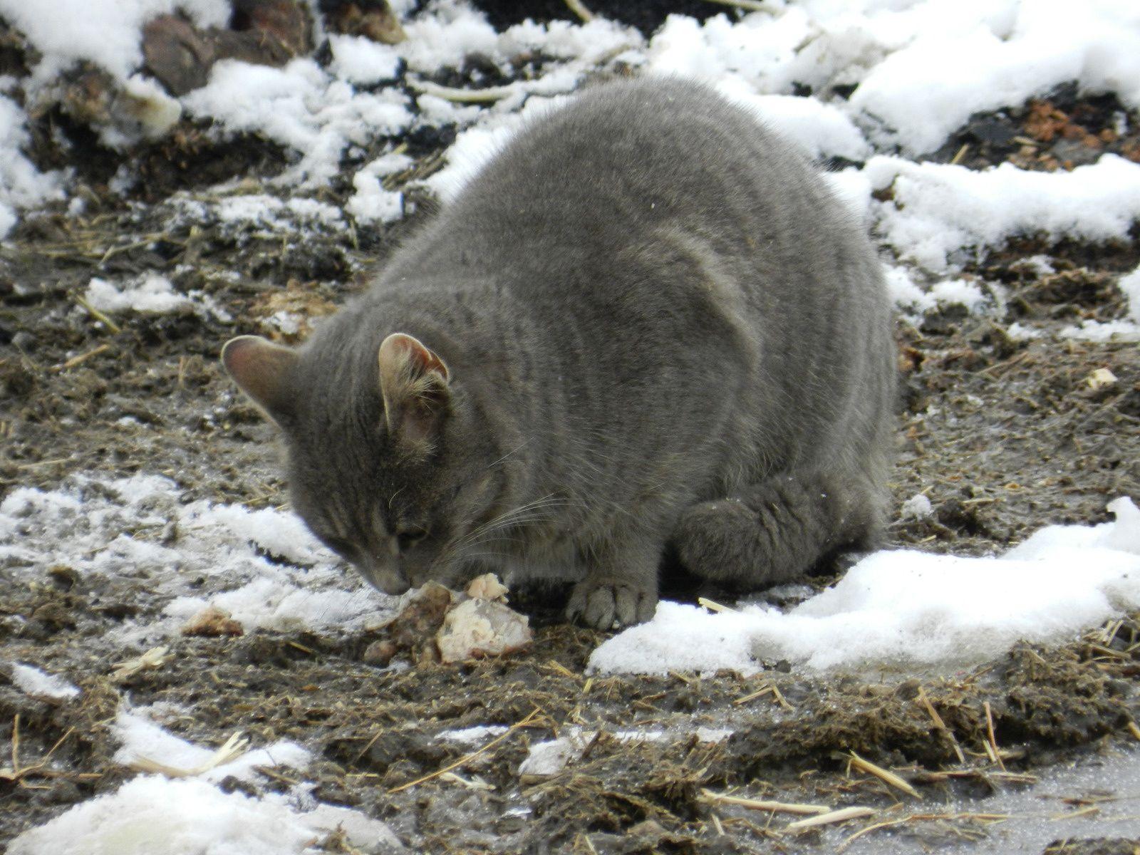 Chat gris. Techniques d'élevage. Image soumise à droits d'auteur