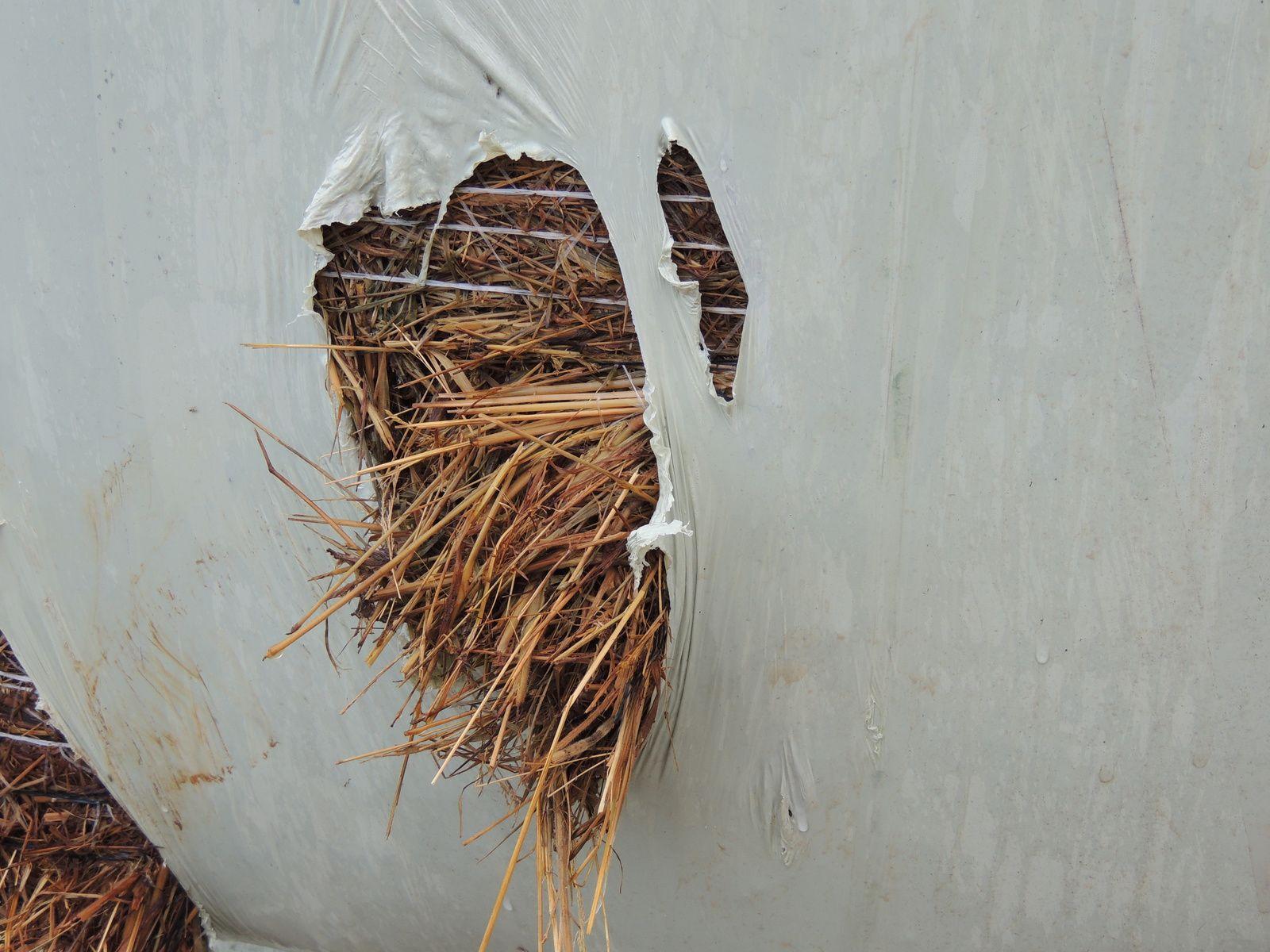 Balle déchirée par le fourrage. Image soumise à droits d'auteurs. Techniques d'élevage. Nantes. 2014