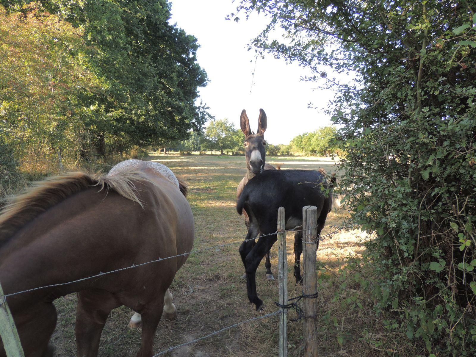 Ane et chevaux en co patûrage. Image soumise à droits d'auteurs. Techniques d'élevage 2014