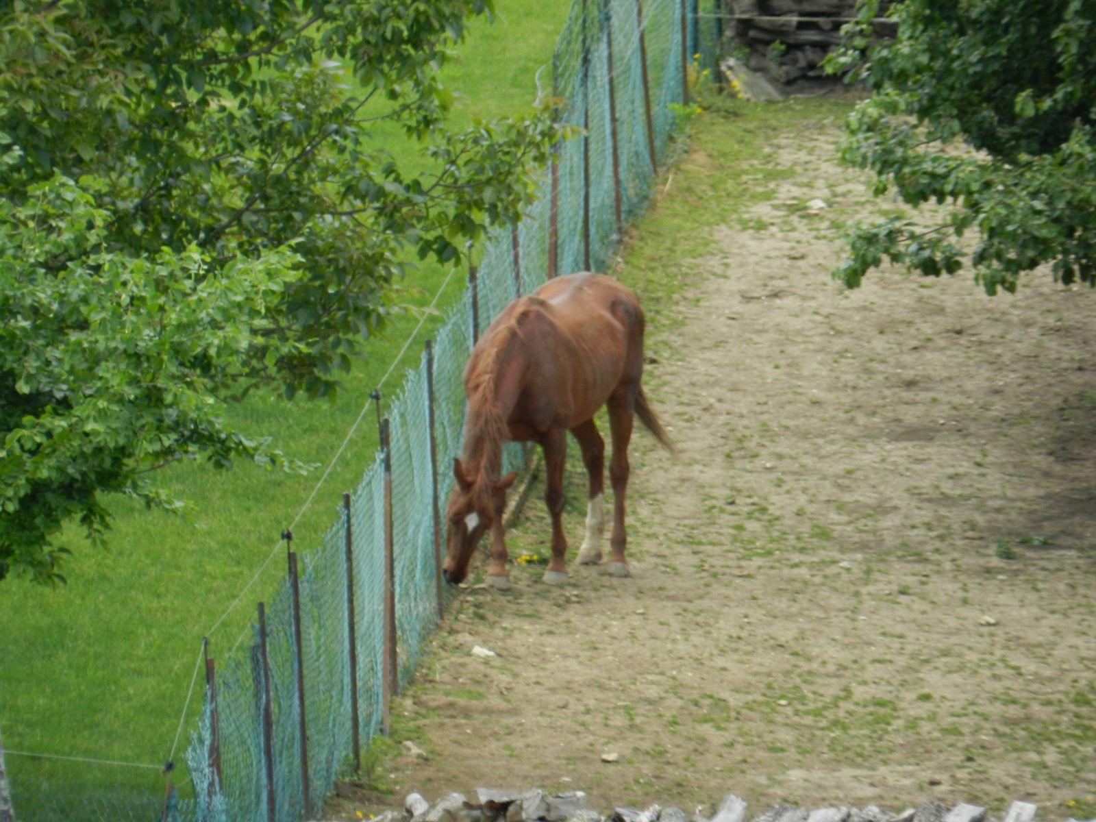 Cheval en paddock devant une clôture. Image soumise à droits d'auteurs. Techniques d'élevage 2014